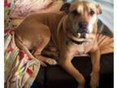 Adopt Wrinkles a Pit Bull Terrier