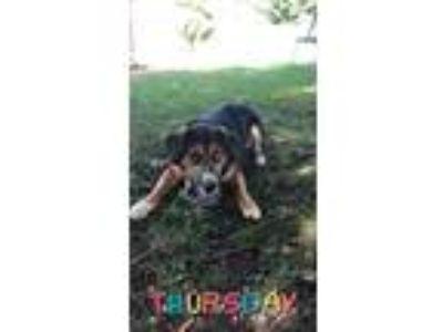 Adopt King a Black - with Tan, Yellow or Fawn Beagle / Shepherd (Unknown Type)