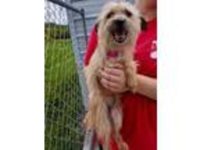 Adopt Rosie a Tan/Yellow/Fawn Terrier (Unknown Type, Small) / Mixed dog in