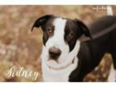 Adopt Sydney a Black - with White Labrador Retriever / Mixed dog in Evansville