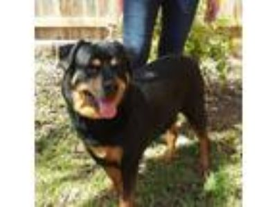 Adopt Betty a Rottweiler