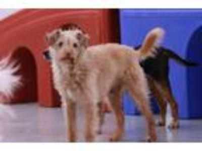 Adopt Kiwi a Tan/Yellow/Fawn Terrier (Unknown Type, Small) / Mixed dog in Agoura