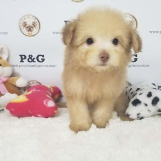 Pomeranian-Poodle (Toy) Mix PUPPY FOR SALE ADN-95719 - POMAPOO PATRICK MALE