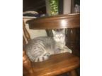 Adopt Khaleesi a Gray or Blue (Mostly) Domestic Shorthair / Mixed cat in