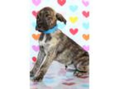 Adopt Travis a Brindle - with White Pit Bull Terrier / Mixed dog in Waldorf
