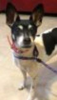 Egypt Jack Russell Terrier - Rat Terrier Dog
