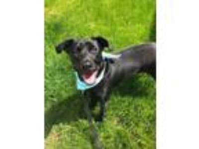 Adopt Rex a Black Labrador Retriever / Mixed dog in South Abington Township