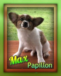Max Male Papillon