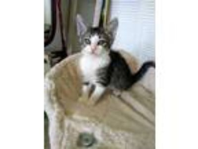 Adopt Langley a Domestic Short Hair