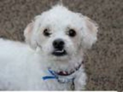 Adopt MILO a Poodle, Mixed Breed