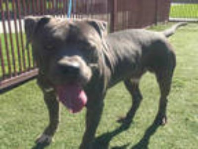Adopt MONEY a Gray/Silver/Salt & Pepper - with White American Pit Bull Terrier /