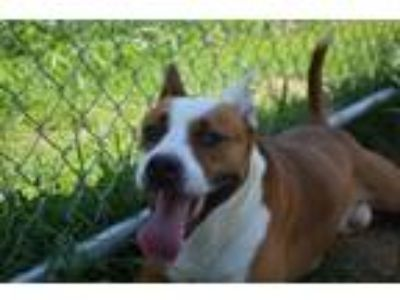Adopt Gucci a Pit Bull Terrier, Mixed Breed