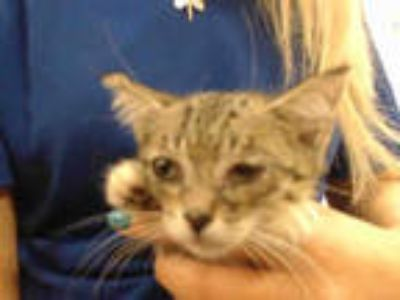 Adopt KATE a Brown Tabby Domestic Shorthair / Mixed (short coat) cat in Doral