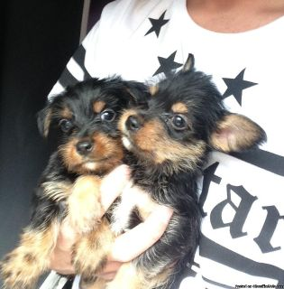 BIEWER YORKSHIRE/YORKIE TERRIER. FINANCING AVAILABLE