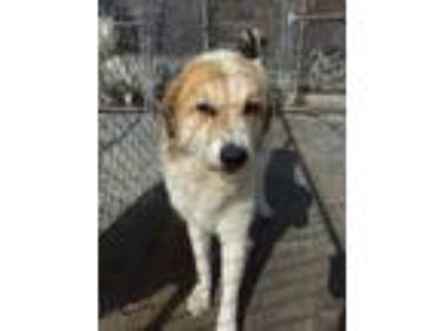 Adopt CLARE a Great Pyrenees