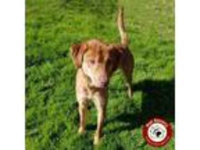 Adopt Bandit - Fee $125 a Labrador Retriever / Hound (Unknown Type) / Mixed dog