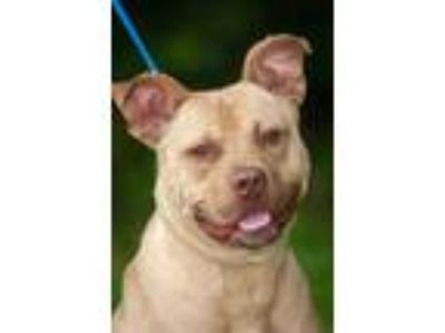 Adopt Creed a Pit Bull Terrier