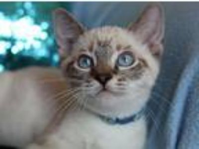 Adopt Ming a Siamese, Domestic Short Hair