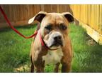 Adopt Precious a Tan/Yellow/Fawn - with White American Staffordshire Terrier /
