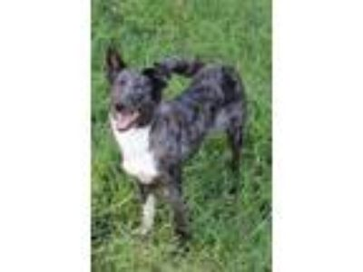 Adopt Bree a Border Collie, Australian Shepherd
