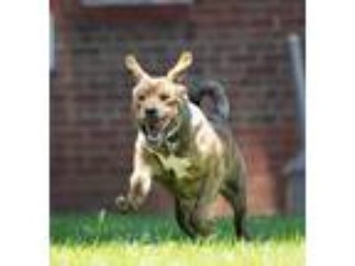 Adopt Boulder a Labrador Retriever / Shar Pei / Mixed dog in Raleigh
