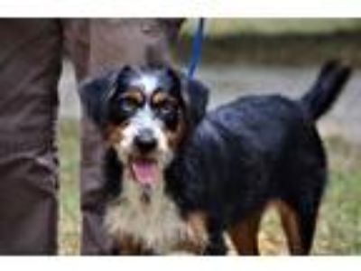 Adopt Marty a Wirehaired Dachshund, Wirehaired Terrier