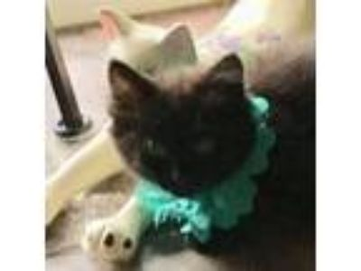 Adopt Jill a All Black Domestic Shorthair (short coat) cat in Duluth