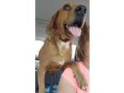 Adopt Bennett a Coonhound, Redbone Coonhound