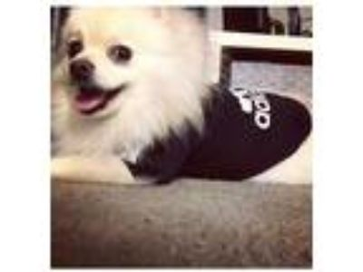 Adopt Fufu a White - with Red, Golden, Orange or Chestnut Pomeranian dog in