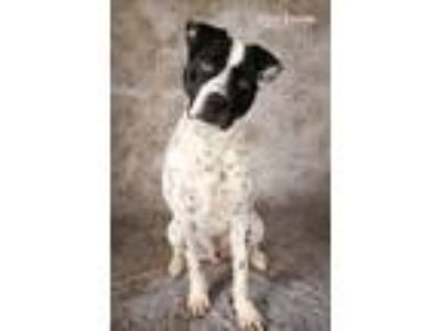 Adopt Vinnie a Pit Bull Terrier, Cattle Dog