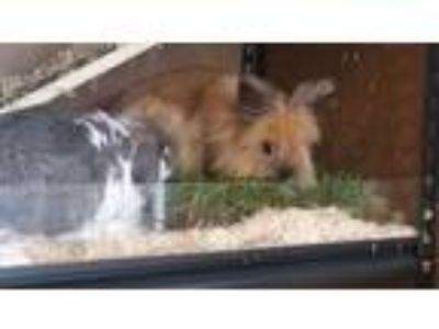 Adopt Alfred and Tuey a Agouti Lop, Holland / Mixed (medium coat) rabbit in