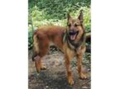 Adopt Gretchen a Brown/Chocolate - with Black German Shepherd Dog / Mixed dog in