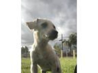 Adopt Beans a White Corgi / Jack Russell Terrier / Mixed dog in Fullerton