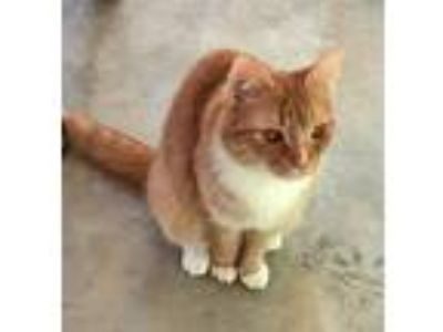 Adopt Ivey a Orange or Red (Mostly) Domestic Shorthair / Mixed (short coat) cat