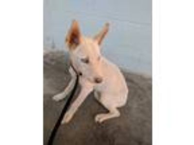 Adopt Hugh a White Hound (Unknown Type) / Husky / Mixed dog in California City
