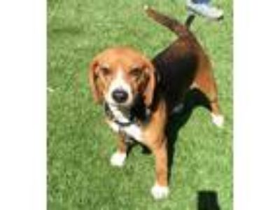 Adopt PIAZZA a Brown/Chocolate - with Black Beagle / Mixed dog in Clyde