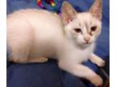 Adopt Luka a White (Mostly) Domestic Shorthair / Mixed cat in Oakland