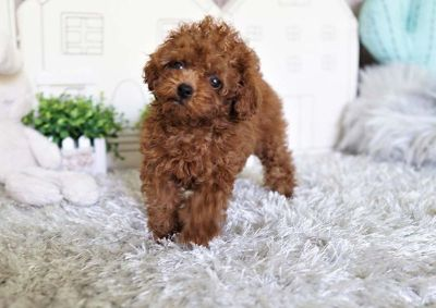 Apple the Teacup Poodle