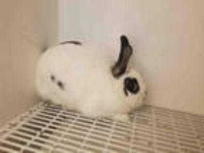 Adopt MILLY a White Other/Unknown / Mixed rabbit in Castaic, CA (25849018)