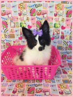 CKC Parti-color Pomimo Puppy