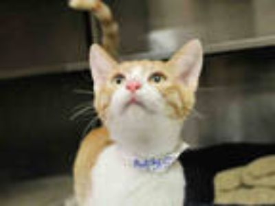 Adopt LIMONCELLO a Orange or Red (Mostly) Domestic Shorthair / Mixed (short