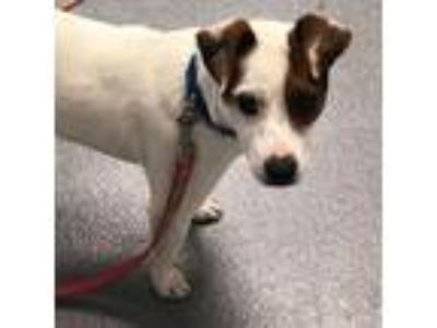 Adopt Paul a White Terrier (Unknown Type, Small) / Mixed dog in Cleveland