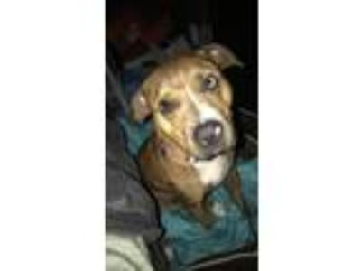 Adopt Bella a Brindle - with White American Pit Bull Terrier / Terrier (Unknown
