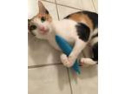 Adopt Ladybird a Calico or Dilute Calico Calico (short coat) cat in Fort Pierce