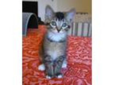 Adopt Derek is our sweetheart love bug!! a Bengal