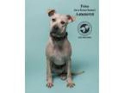 Adopt Frito (In a Foster Home) a American Staffordshire Terrier
