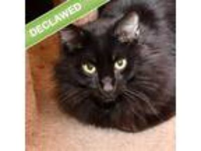 Adopt Fluff -- Bonded Buddy With Muff a Domestic Longhair / Mixed cat in Des