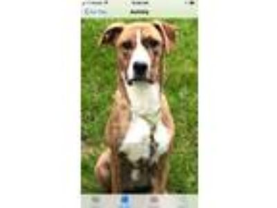 Adopt Jasper a Boxer, Border Collie