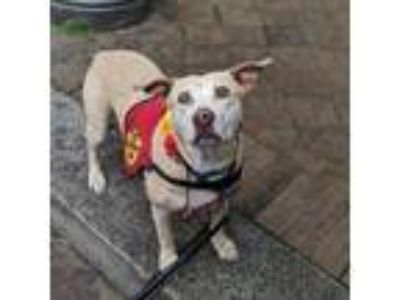 Adopt Maribel a Tan/Yellow/Fawn American Pit Bull Terrier / Mixed dog in