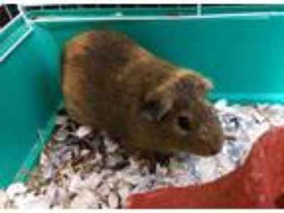 Adopt APOLLO a Brown or Chocolate Guinea Pig / Mixed small animal in Chapel